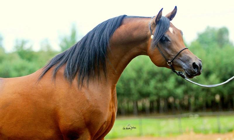 stajnia-arabika-maran-001