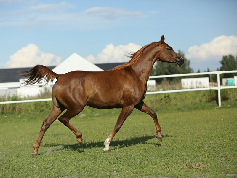 stajnia-arabika-paulina-005
